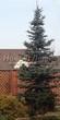 Хвойный крупномер Ель колючая форма сизая (Picea pungens f. glauca) - 103