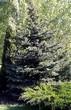 Хвойный крупномер Ель колючая форма сизая (Picea pungens f. glauca) - 104