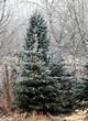 Хвойный крупномер Ель колючая форма сизая (Picea pungens f. glauca) - 105