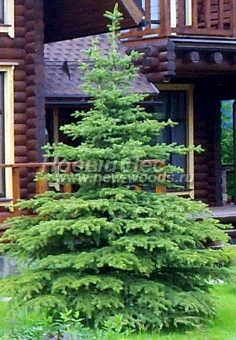 Хвойный крупномер Ель колючая форма зеленая (Picea pungens)