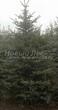 Хвойный крупномер Ель колючая форма зеленая (Picea pungens) - 101