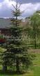 Хвойный крупномер Ель колючая форма зеленая (Picea pungens) - 102