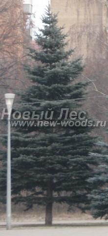 Хвойный крупномер Ель колючая форма голубая (Picea pungens)