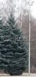 Хвойный крупномер Ель колючая (Ель голубая) форма голубая (Picea pungens) - 101