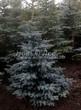 Хвойный крупномер Ель колючая (Ель голубая) форма голубая (Picea pungens) - 102