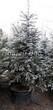 Хвойный крупномер Ель колючая (Ель голубая) форма голубая (Picea pungens) - 103