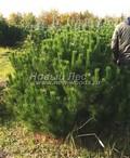 Сосна горная (Сосна стланиковая европейская) (Pinus mugo)