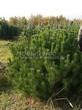 Хвойный крупномер Сосна горная (Pinus mugo) - 101
