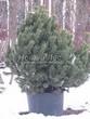 Хвойный крупномер Сосна горная (Pinus mugo) - 102