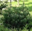 Хвойный крупномер Сосна горная (Pinus mugo) - 103
