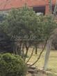 Хвойный крупномер Сосна горная (Pinus mugo) - 104