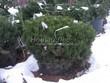 Хвойный крупномер Сосна горная (Pinus mugo) - 105