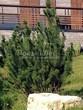 Хвойный крупномер Сосна горная (Pinus mugo) - 106