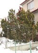 Хвойный крупномер Сосна горная (Pinus mugo) - 107