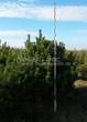 Хвойный крупномер Сосна горная (Pinus mugo) - 108