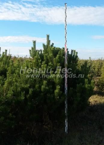 Хвойный крупномер Сосна горная (Pinus mugo) - Фото 108 - Крупномер сосны горной, растущий в почве (фотография из питомника, многолетнее растение, высота - больше 2 метров)