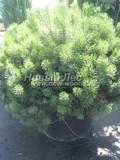 Хвойный крупномер Сосна горная Мугус (Pinus mugo 'Mughus')