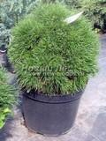 Хвойный крупномер Сосна горная Варелла (Pinus mugo 'Varella')