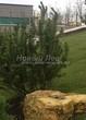 Хвойный крупномер Сосна горная подвид муго (Pinus mugo subsp. mugo) - 101