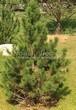 Хвойный крупномер Сосна горная подвид муго (Pinus mugo subsp. mugo) - 102
