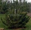 Хвойный крупномер Сосна горная подвид муго (Pinus mugo subsp. mugo) - 103