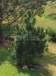 Хвойный крупномер Сосна горная подвид муго (Pinus mugo subsp. mugo) - 104