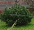 Хвойный крупномер Сосна горная подвид муго (Pinus mugo subsp. mugo) - 105