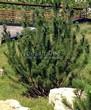 Хвойный крупномер Сосна горная подвид муго (Pinus mugo subsp. mugo) - 106