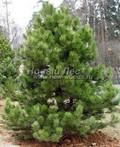 Хвойный крупномер Сосна черная (Сосна чёрная австрийская) (Pinus nigra)