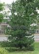 Хвойный крупномер Сосна черная (австрийская) (Pinus nigra) - 101