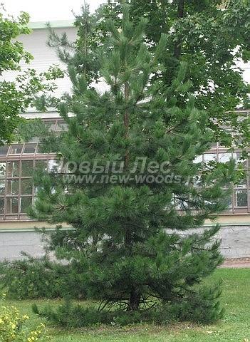Хвойный крупномер Сосна черная (австрийская) (Pinus nigra) - Фото 101 - Крупномер Сосна черная (Pinus nigra) в городском парке (Москва, осень, сентябрь)