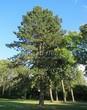 Хвойный крупномер Сосна черная (австрийская) (Pinus nigra) - 102