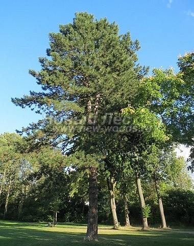 Хвойный крупномер Сосна черная (австрийская) (Pinus nigra) - Фото 102 - Взрослое крупномерное дерево Сосны чёрной австрийской достигает больших размеров и может быть настоящим украшением ландшафта