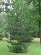 Хвойный крупномер Сосна черная (австрийская) (Pinus nigra) - 103