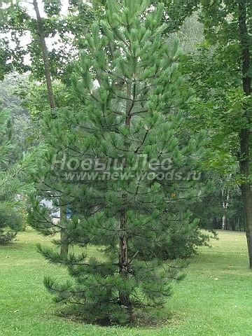 Сосна черная: посадка крупномеров хвойных деревьев