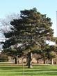 Хвойный крупномер Сосна черная (австрийская) (Pinus nigra) - 104