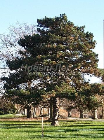 Хвойный крупномер Сосна черная (австрийская) (Pinus nigra) - Фото 104 - Взрослые деревья сосны могут жить до 400 лет, столетиями радуя глаз (Сосна чёрная, крупномер в городе)
