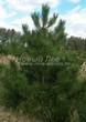 Хвойный крупномер Сосна черная (австрийская) (Pinus nigra) - 105