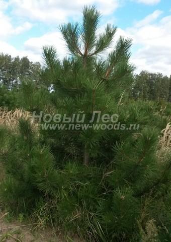 Хвойный крупномер Сосна черная (австрийская) (Pinus nigra) - Фото 105 - Крупномер Сосны черной в питомнике, ожидающий пересадки в рамках проекта ландшафтного дизайна (3 метра, Тульская область, сентябрь, осень)