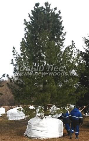 Хвойный крупномер Сосна сибирская кедровая (Сибирский кедр) (Pinus sibirica)
