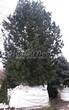 Хвойный крупномер Сосна сибирская кедровая (Сибирский кедр) (Pinus sibirica) - 101