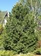 Хвойный крупномер Сосна сибирская кедровая (Сибирский кедр) (Pinus sibirica) - 102