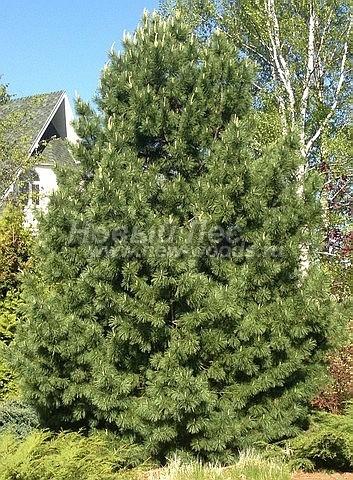 Сосна сибирская кедровая: посадка крупномеров хвойных деревьев