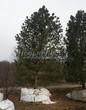 Хвойный крупномер Сосна сибирская кедровая (Сибирский кедр) (Pinus sibirica) - 103
