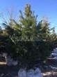 Хвойный крупномер Сосна сибирская кедровая (Сибирский кедр) (Pinus sibirica) - 104