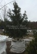 Хвойный крупномер Сосна сибирская кедровая (Сибирский кедр) (Pinus sibirica) - 105