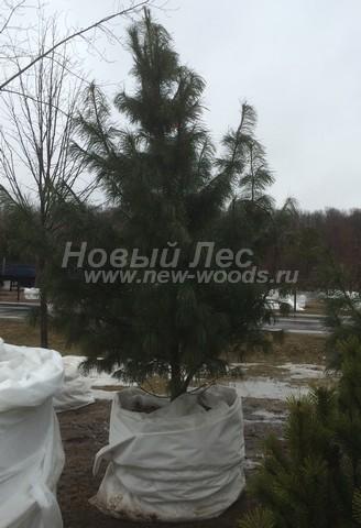 Хвойный крупномер Сосна сибирская кедровая (Сибирский кедр) (Pinus sibirica) - Фото 105 - Крупномерное дерево сосны сибирской кедровой, установленное на месте высадки в городском парке (Московская область, апрель, высота 4 м)