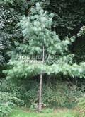 Хвойный крупномер Сосна веймутова (Сосна белая восточная) (Pinus strobus)