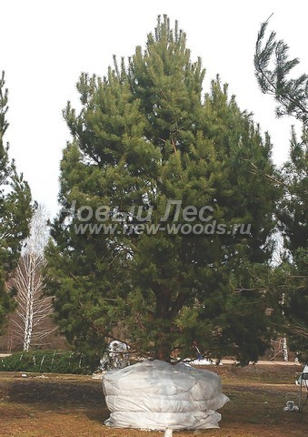 Хвойный крупномер Сосна обыкновенная (Pinus sylvestris)