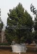 Хвойный крупномер Сосна обыкновенная (Pinus sylvestris) - 101